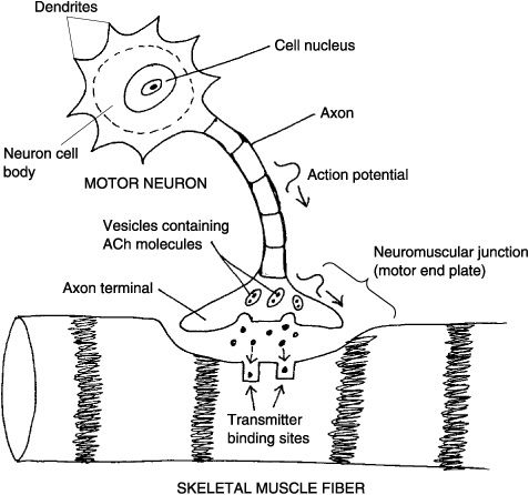 The Neuromuscular Junction and Muscle Excitation Help