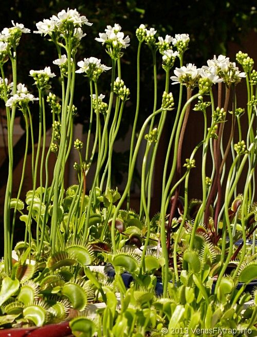 Vft flower stalks | Carnivorous plants | Pinterest