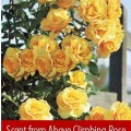 Scent from above climbing rose beyond the soil pinterest