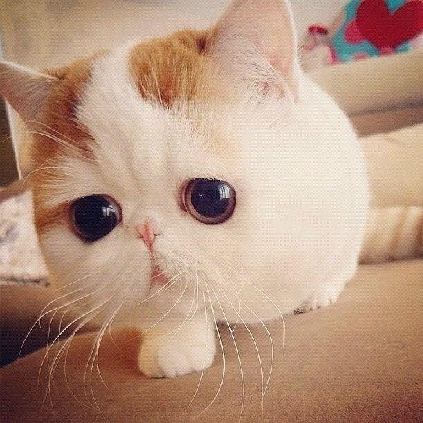 Exotic Shorthair Kitten Cute. Pinterest