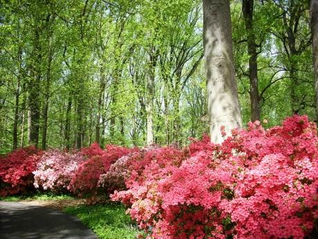 Azalea Woods at Winterthur Gardens (PA/DE)