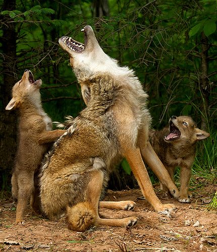Howling lesson via Flickr