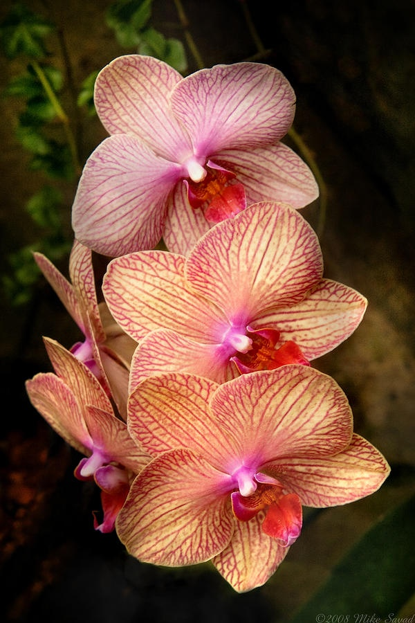 Afbeeldingsresultaat voor orchid pastel pink and orange