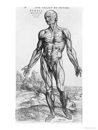 Anatomical Study Illustration from De Humani Corporis Fabrica 1543