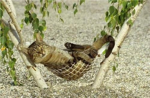 surferess:    Holy Cow! Cat in a hammock FTW!  funnywildlife:    Just chilling in my hammock!!