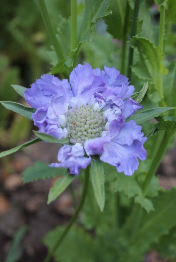 pincushion flower My Secret Garden Pinterest