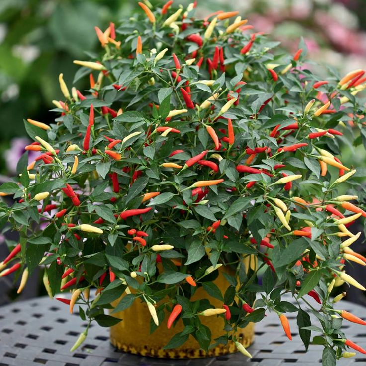 Ornamental Pepper Edible