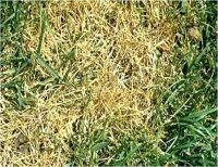 Pin by Live Mulch on Lawn Diseases | Pinterest