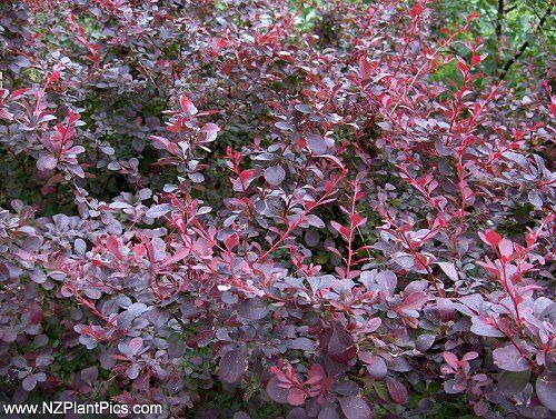 red barberry bushes landscaping