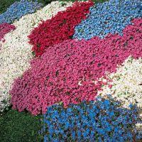 Carpet Phlox | Gardens & Gardening Ideas | Pinterest
