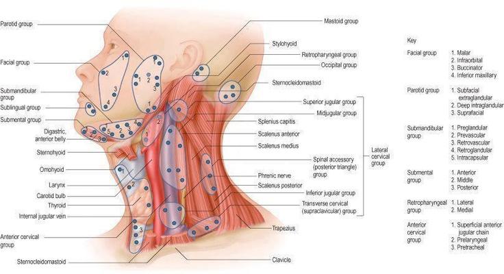Lymph nodes of the head and neck   Nursing/medical   Pinterest
