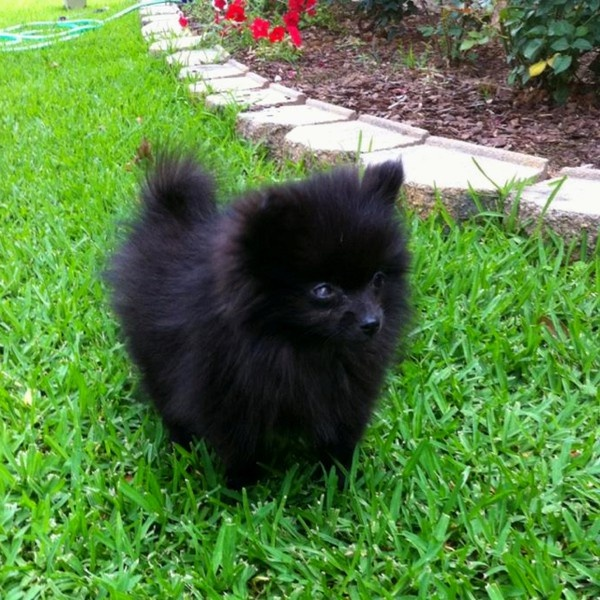 My Pomeranian baby zeta puppy love Pinterest