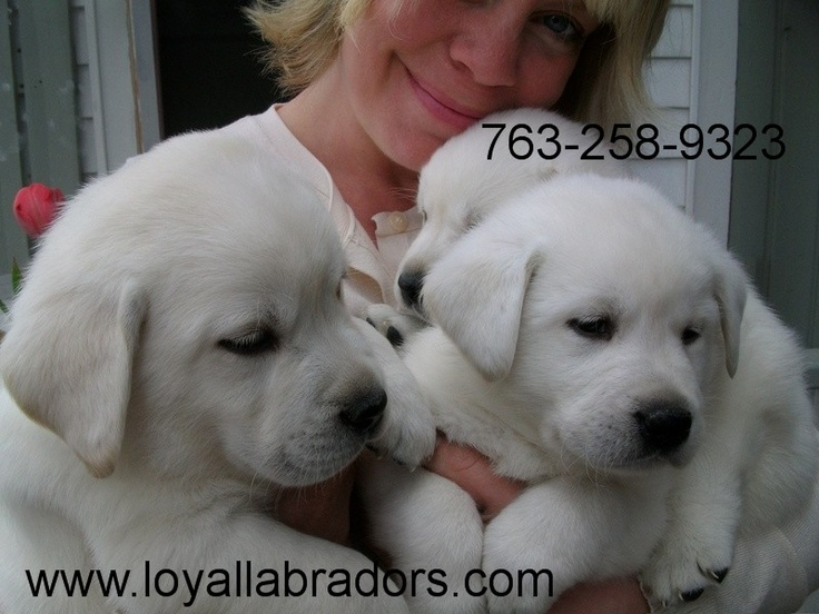 Chubby English White Lab Puppies in a snow white shade