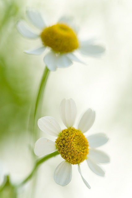Daisies... by sarsmis on flickr