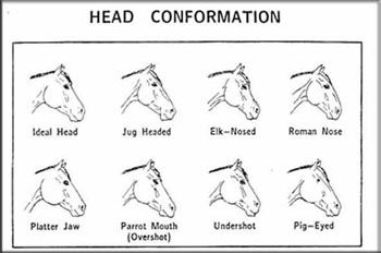 Diagram Horse Proportions, Diagram, Free Engine Image For