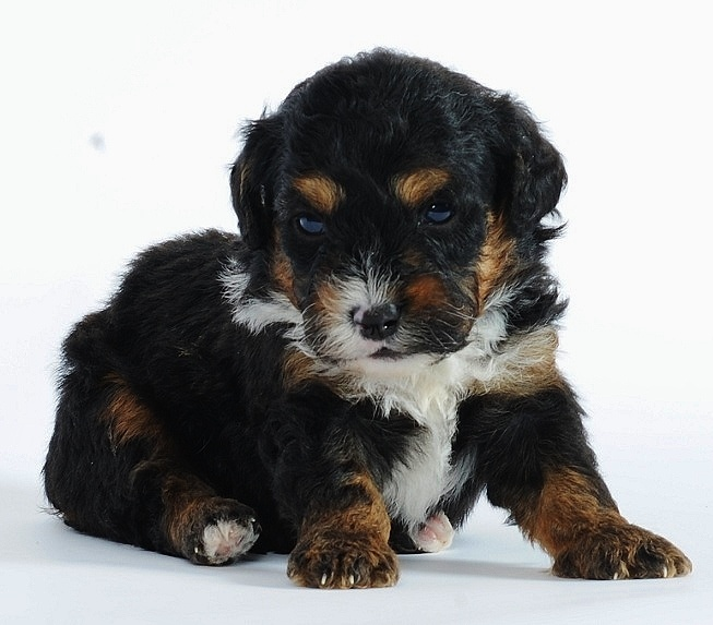 Tiny Bernedoodle sooooooooo want one!! furry friends