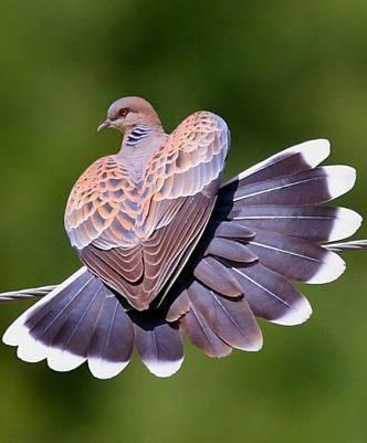 Dove's heart wings