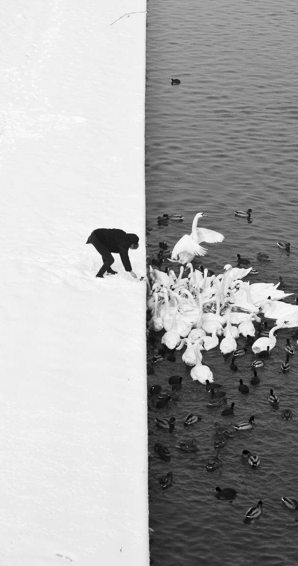 MARCIN RYCZEK, MAN FEEDING SWANS: detail of a man feeding swans in the snow in krakow, poland.