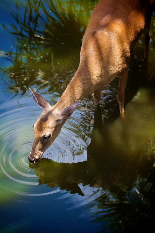 As the deer pants for streams of water, so my soul pants for you, my God.  (Psalm 42:1 NIV)