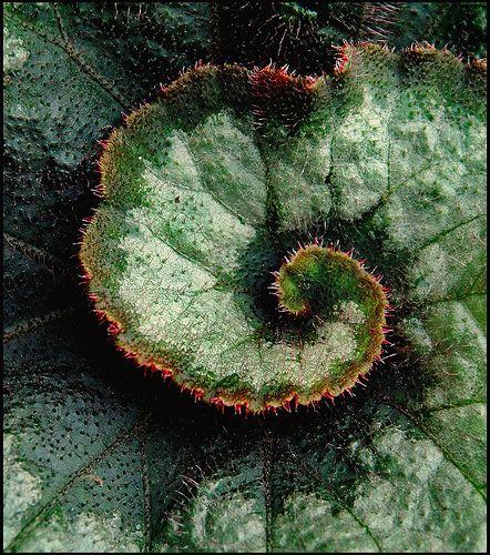 Begonia Leaf