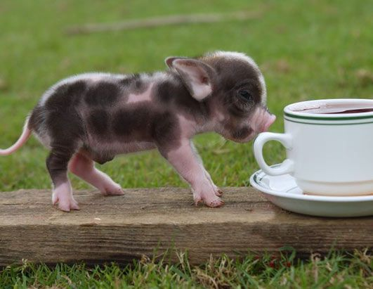 pets  | ... have suddenly become and just how many people want pigs as pets
