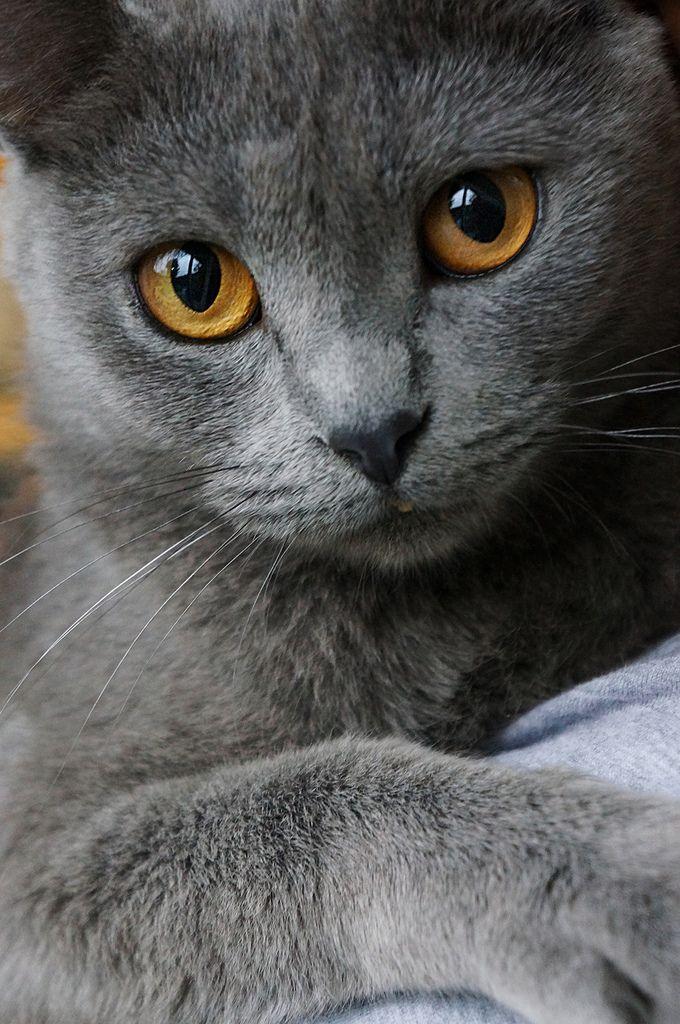 Perfect grey beauty Cat's Meow Pinterest