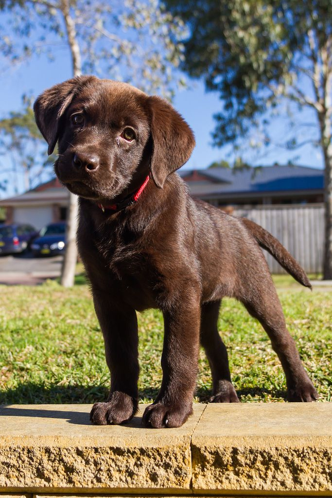 Choco lab pup It's mostly a lab thing Pinterest