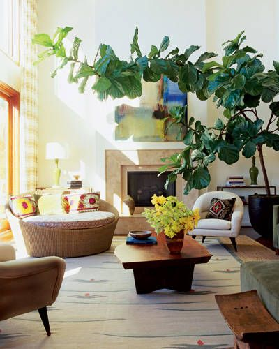 Huge fiddle leaf fig tree
