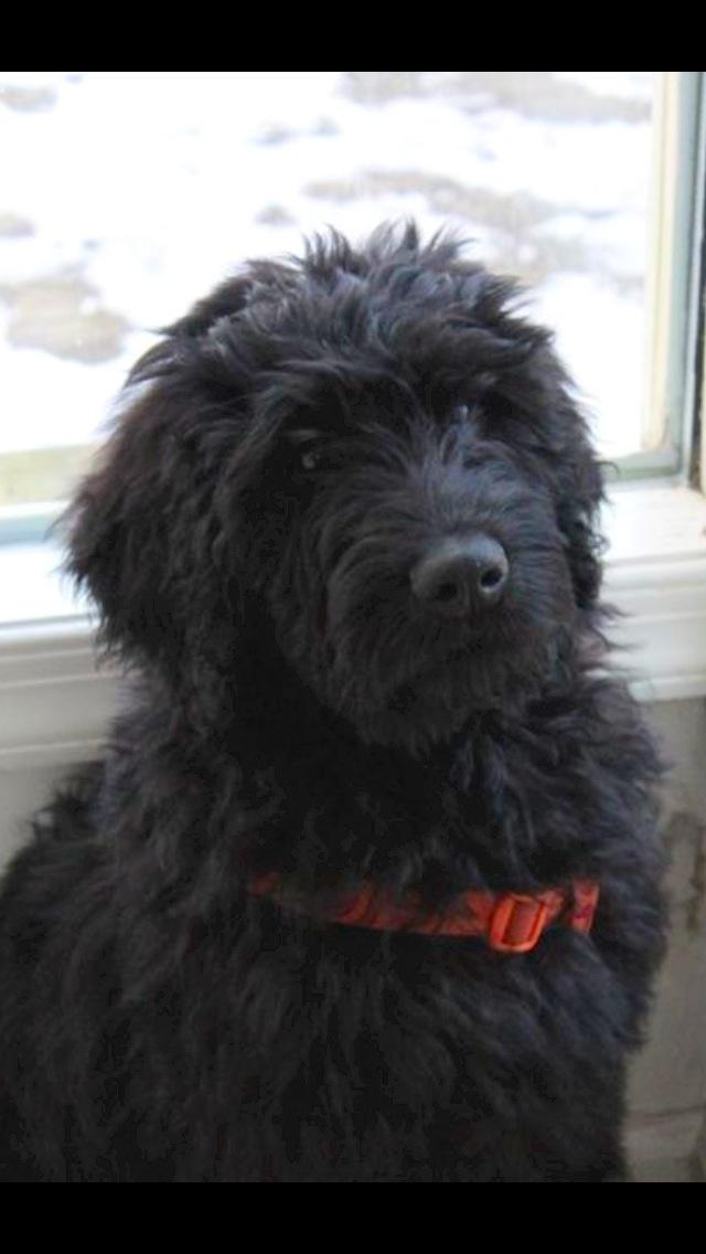 McCoy, my black Goldendoodle puppy!