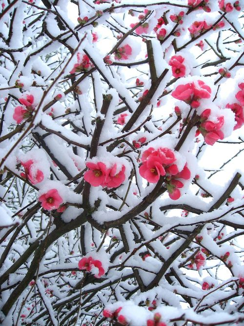 Pretty Blossoms Covered with Snow