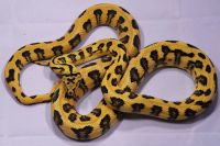 Jungle jaguar carpet python | Snakes | Pinterest