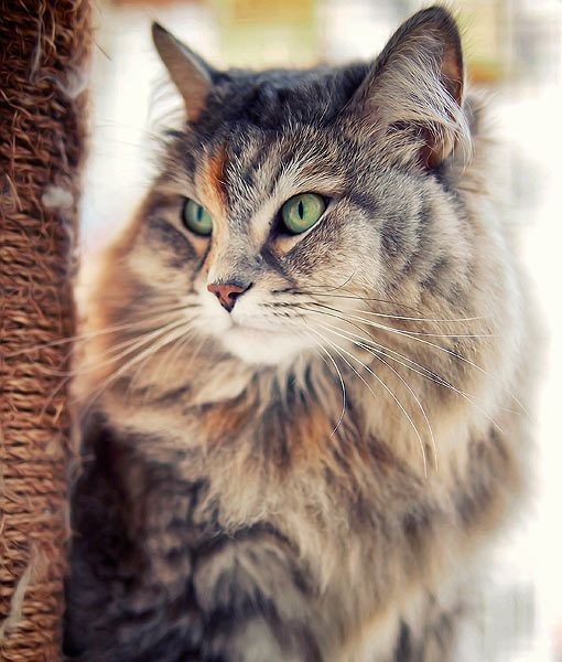 Image Result For Cat Breeds For Allergy Sufferers