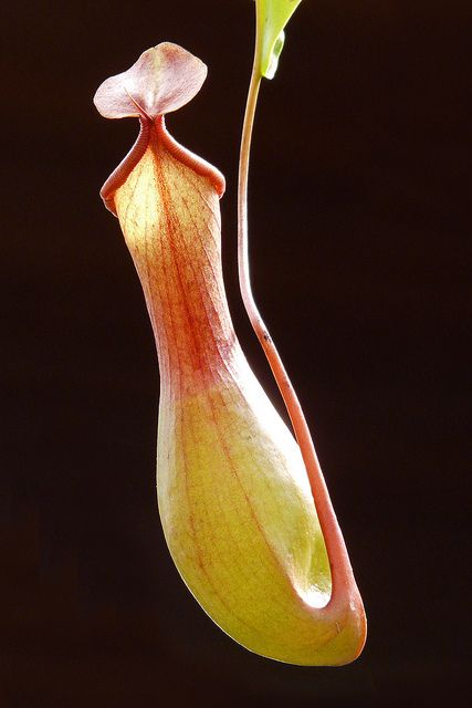 Carnivorous Plant by njchow82, via Flickr