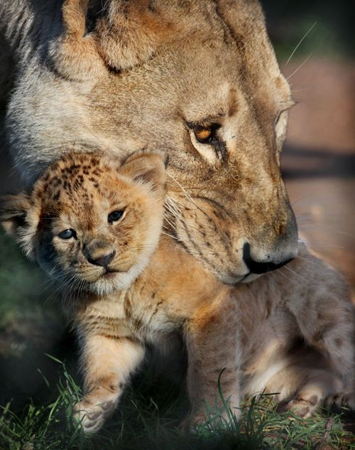 lion cub and mum monarto zoo south australia