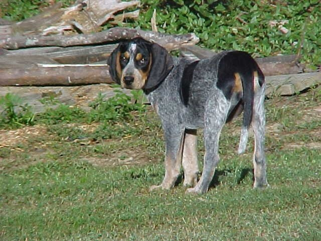 Blue tick hound ♥ Gods adorable creatures Pinterest