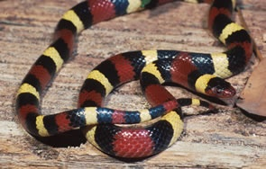 Scarlet Kingsnake/Milksnake - North Carolina. Check out Brigette's review of Jeanne DuPrau's The Prophet Of Yonwood here: http://chaptersandscenes.wordpress.com/2014/02/20/brigette-reviews-the-prophet-of-yonwood/