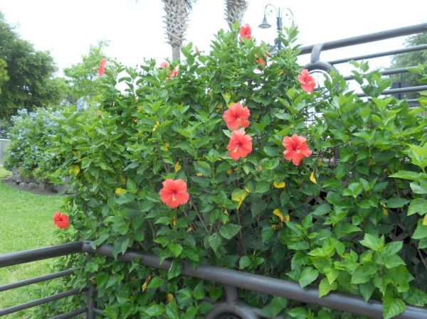 orange hibiscus landscape