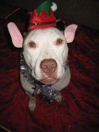 Pitbull dog costume   Pitbulls are a girls best friend ...