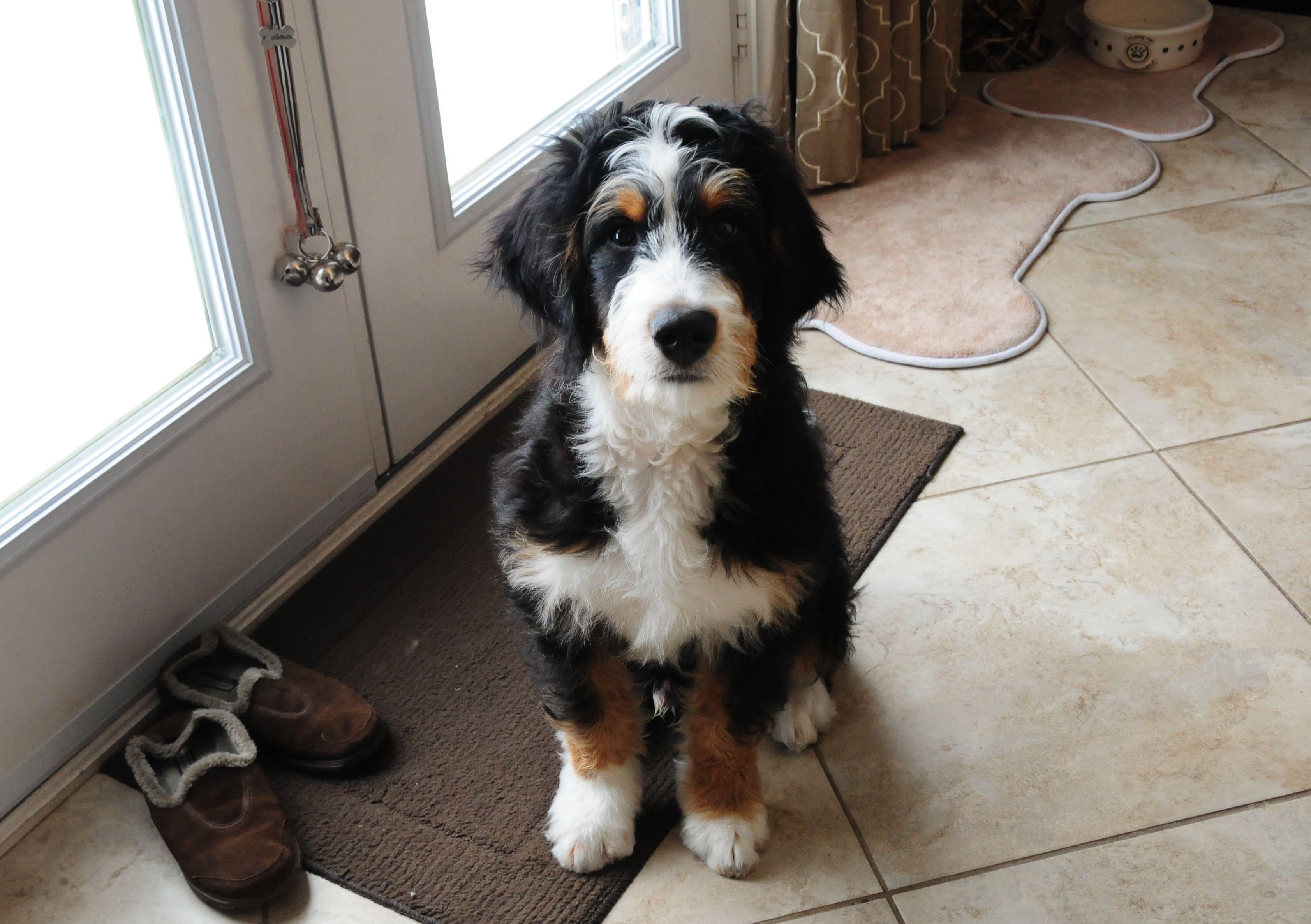 Bernedoodle future dog! Puppy Envy Pinterest