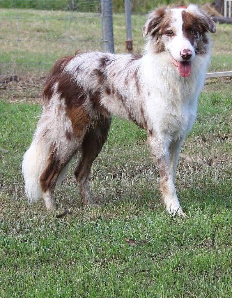 Red Merle border collie, beautiful. Dog Pinterest