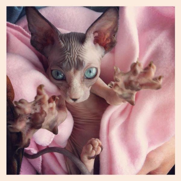 20 Scary Hairless Cat Pictures And Ideas On Carver Museum