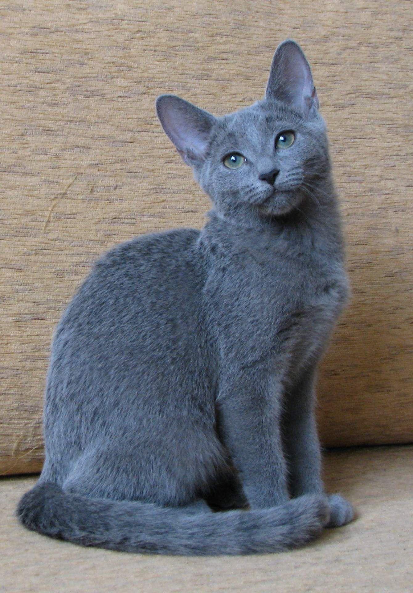 Russian Blue Here Kitty Kitty Kitty! Pinterest
