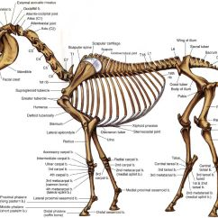 Horse Skeleton Diagram Labeled 99 Ford F150 Fuse Anatomy Pinterest