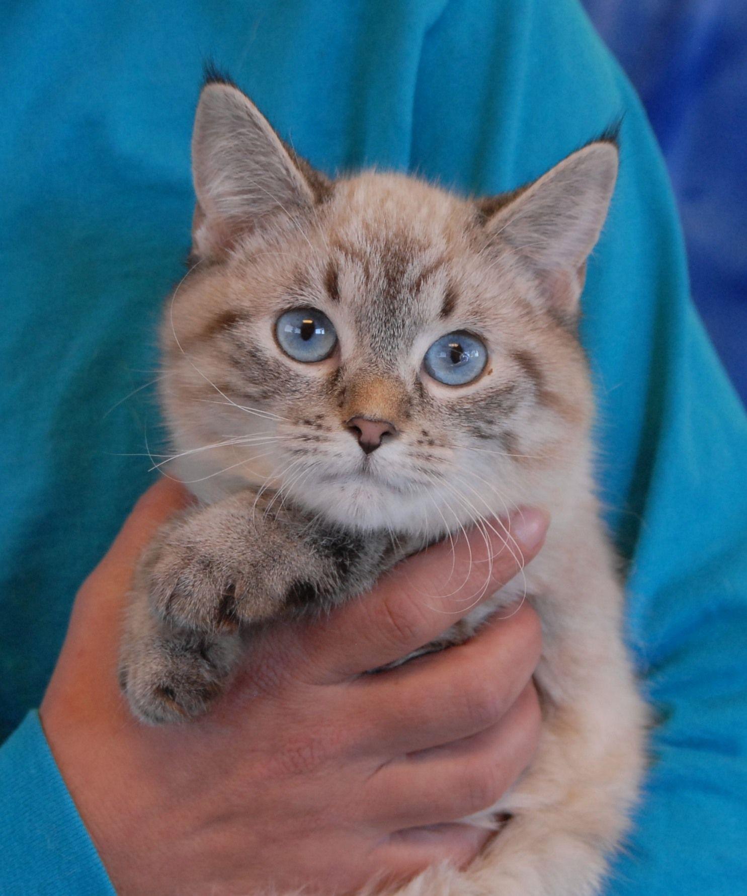 Lynx Point Siamese kitten Cats... I love them Pinterest