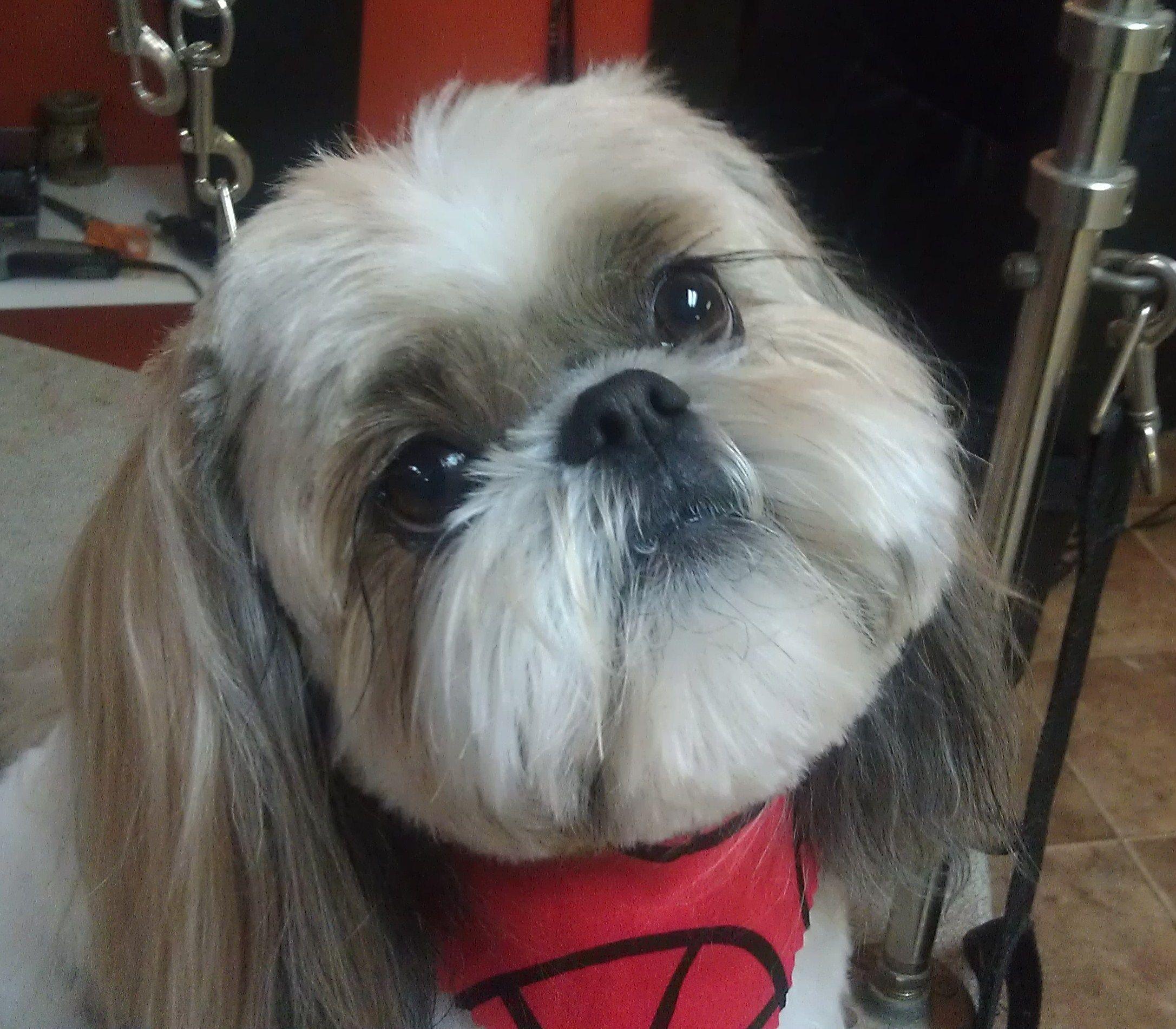 Shih Tzu teddy bear clip all kinds of cute dogs Pinterest