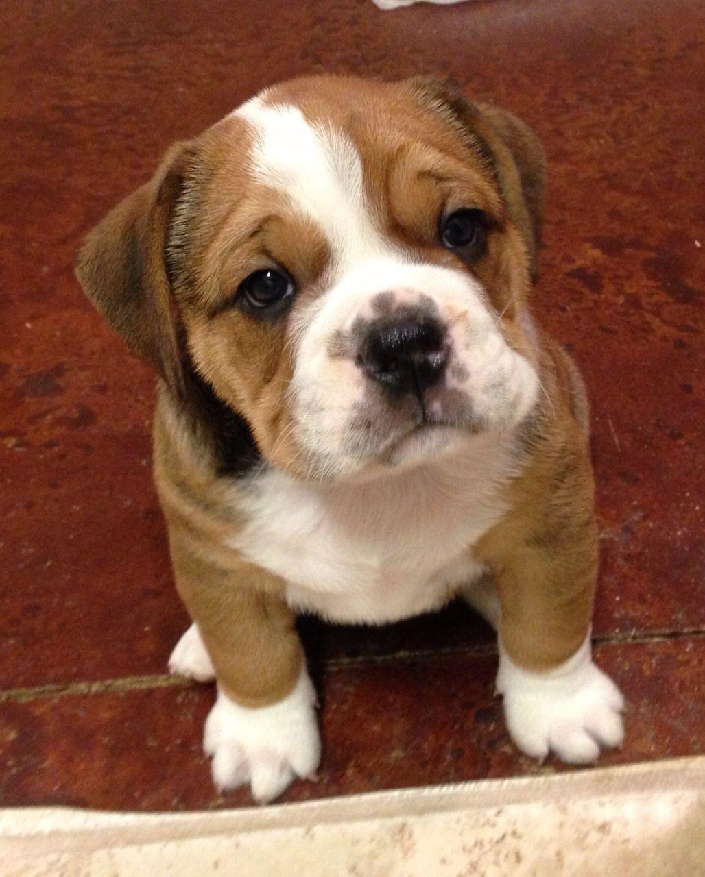 Beagle Bulldog mix Ideal Pets Pinterest