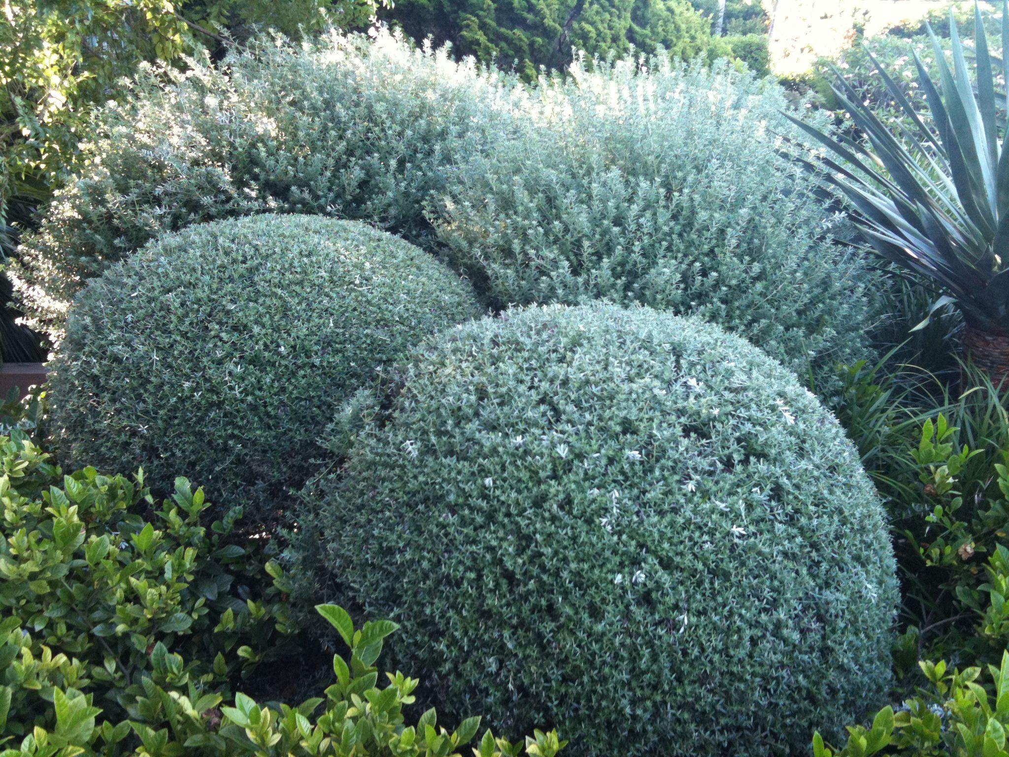 Westringia Fruticosa Front Garden Pinterest