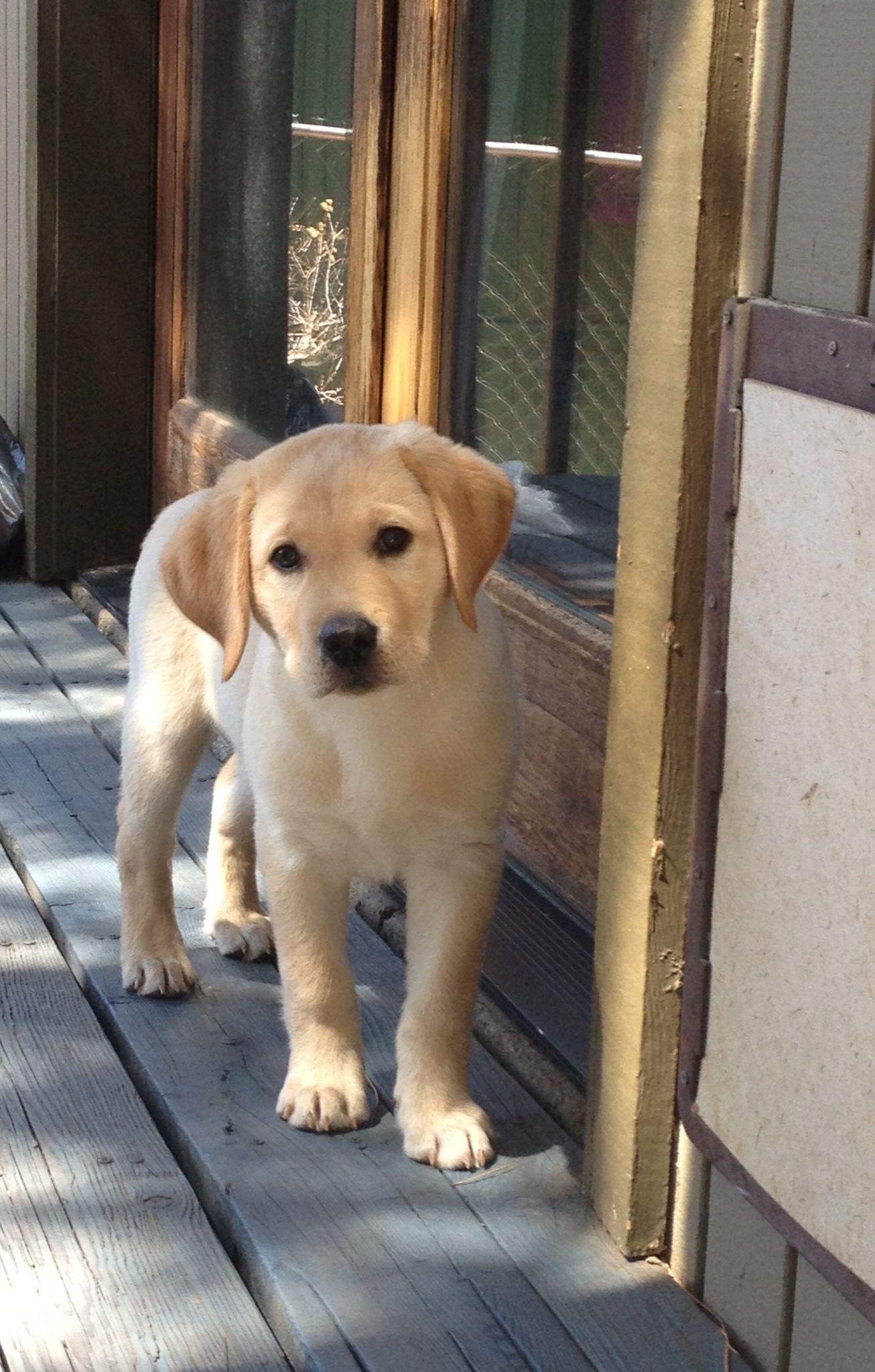 Yellow Labrador Retriever dog art portraits, photographs