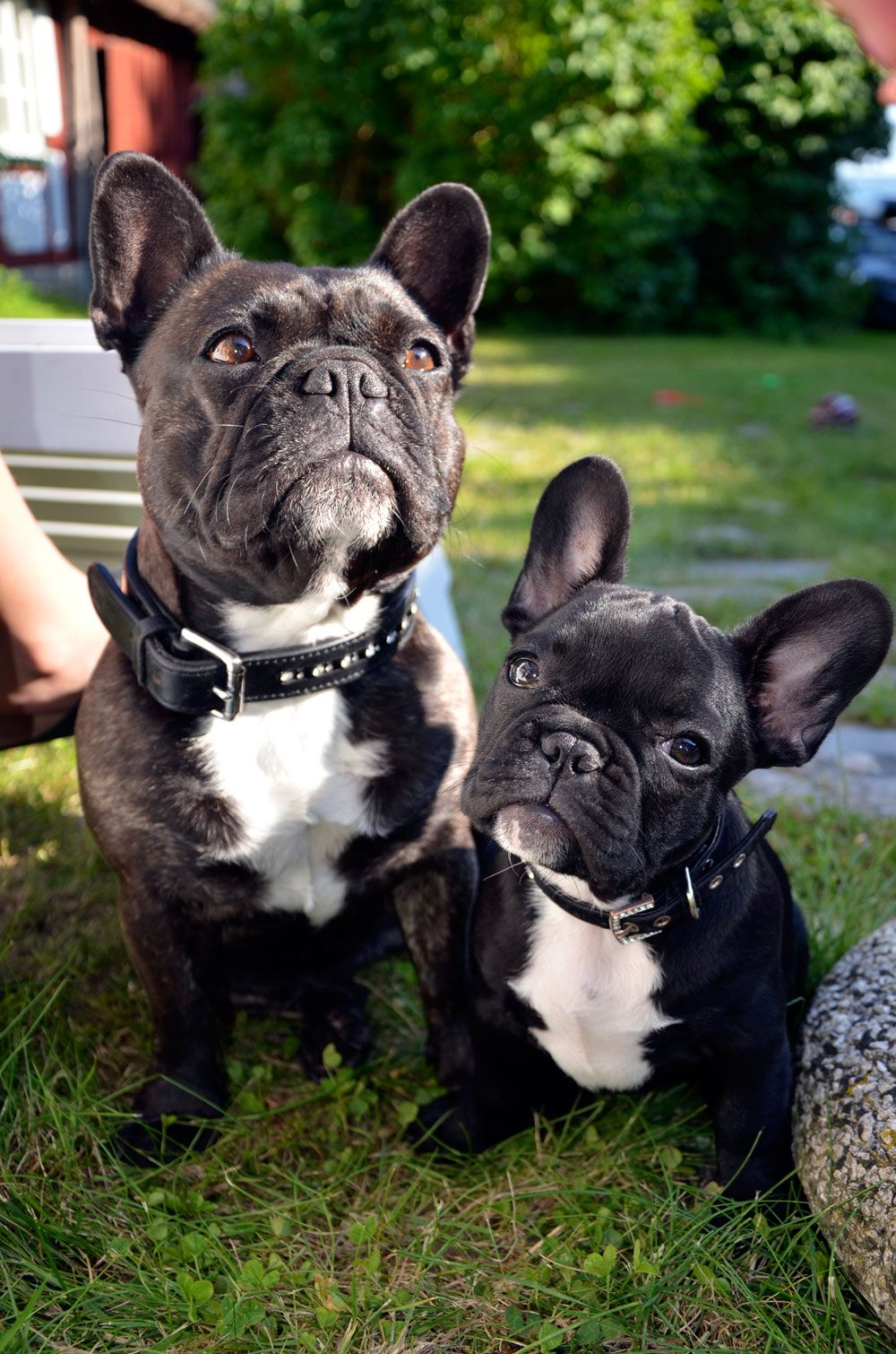 French bulldog sunning Frenchie Friends Being Fuzzy
