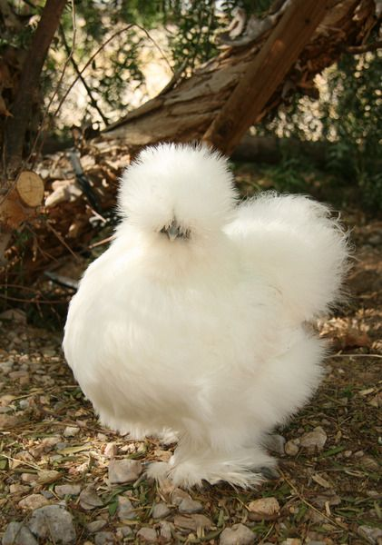 white silkie chicken  fluffy birds  Pinterest
